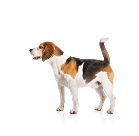 perro corriendo: El perro est? posando en el estudio - aislado sobre fondo blanco Foto de archivo