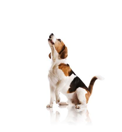 Le chien est posant en studio - isol? sur fond blanc Banque d'images - 22299881