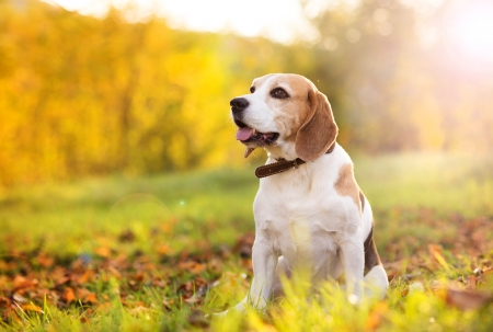 Beagle dog portrait on sunshine background in nature photo