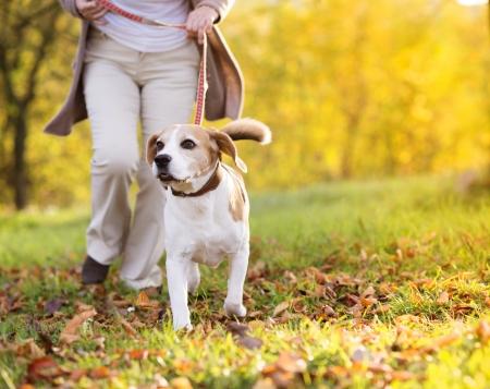 caminando: Mujer mayor que paseaba a su perro beagle en el campo Foto de archivo