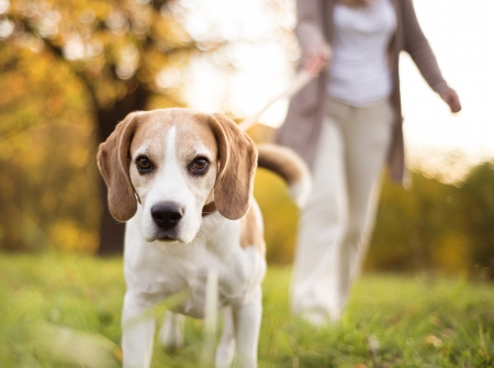 active seniors: Senior woman walking her beagle dog in countryside