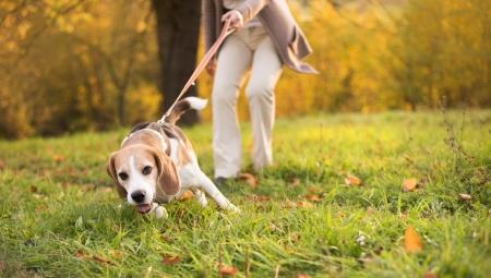 수석 여자는 시골에서 그녀의 비글 강아지를 산책 스톡 콘텐츠