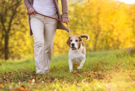 mujer con perro: Mujer mayor que paseaba a su perro beagle en el campo Foto de archivo