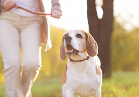 Ltere Frau, die zu Fuß mit ihrem Beagle-Hund in der Landschaft Standard-Bild - 23932523