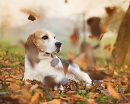 Beagle dog portrait laying down in autumn leaves