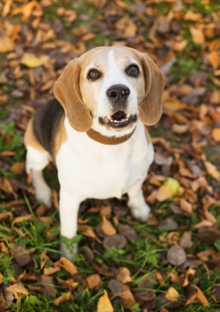 Beagle dog portrait laying down in autumn leaves photo