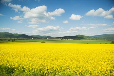 rapaseed: Yellow canola field under blue cloudy sky