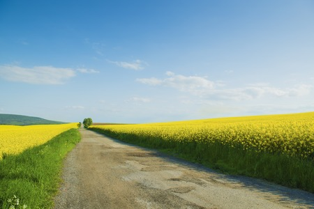 Countryside road and yellow colza field under blue cloudy sky photo