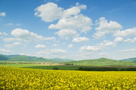 cloudy sky: Yellow canola field under blue cloudy sky