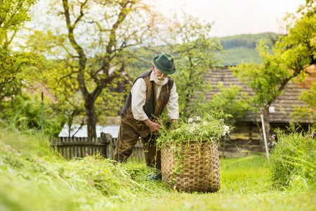 gaffer: Portrait of old farmer with beard and hat putting mown grass to a big basket Stock Photo