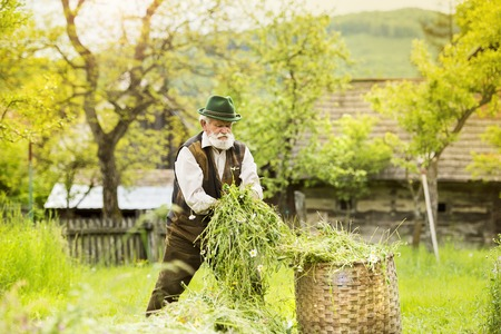 agriculturalist: Portrait of old farmer with beard and hat putting mown grass to a big basket Stock Photo