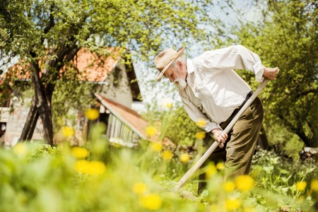 Old farmer with a hoe weeding in the garden photo