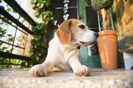 beagle: Cute beagle dog guarding and lying in front of the house Stock Photo