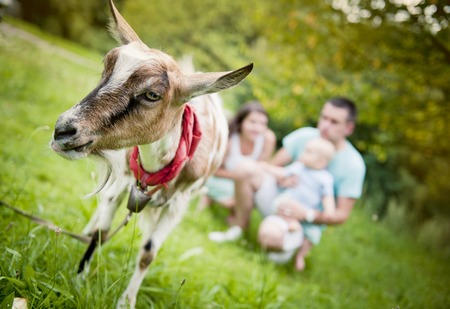smiling goat: Happy family is relaxing in green meadow with goat