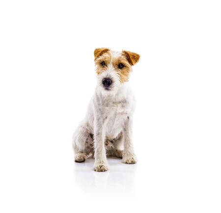 jack russell terrier: Cute dog