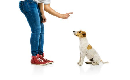 commands: Young woman training cute parson russell terrier dog isolated on white background