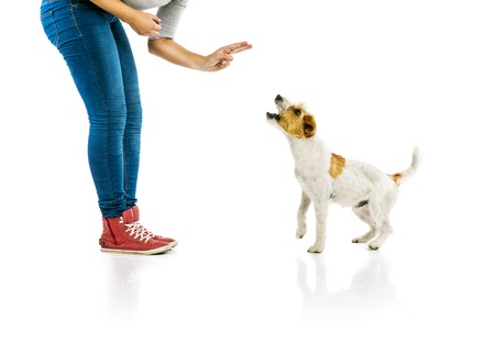 censure: Young woman training cute parson russell terrier dog isolated on white background