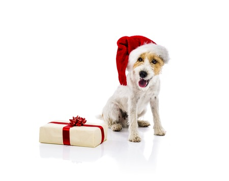 An adorable young parson russell terrier dog in santa hat sitting next to the Christmas gift, isolated on white background Stock Photo