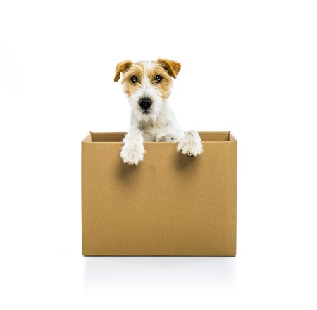 An adorable young parson russell terrier dog inside a cardboard box, isolated on white background photo