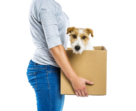 jack in a box: Unrecognizable woman with her cute parson russell terrier dog in cardboard box moving, isolated on white background