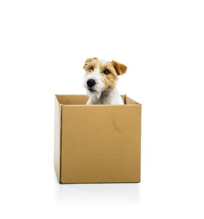 jack in a box: An adorable young parson russell terrier dog inside a cardboard box, isolated on white background Stock Photo