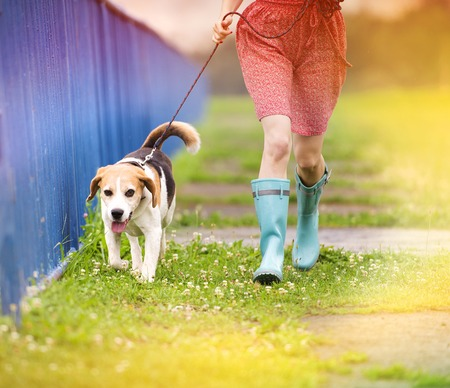 rainy day: Unrecognizable young woman in dress and blue wellies walk her beagle dog in green nature