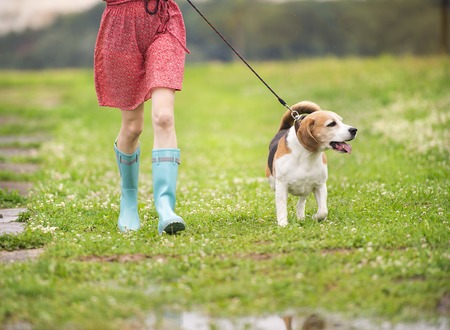 walk in: Unrecognizable young woman in dress and blue wellies walk her beagle dog in green nature