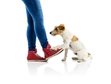 Cute parson russell terrier dog begging to play at owners feet isolated on white background