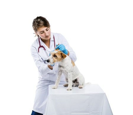 Female veterinarian examining parson russell terrier dog solated on white photo