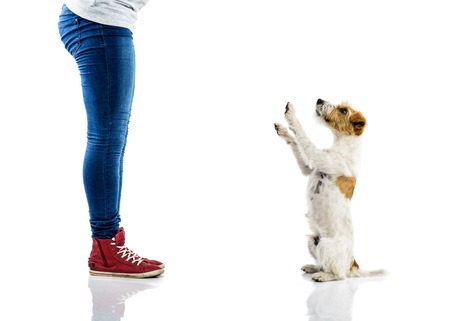 jack russell terrier puppy: Cute parson russell terrier dog begging to play at owners feet isolated on white background