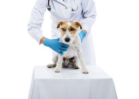 solated: Female veterinarian examining parson russell terrier dog solated on white Stock Photo