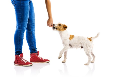 dog treat: Unrecognizable woman feeding cute parson russel terrier dog on white background isolated