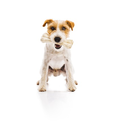 An adorable young parson russell terrier dog chowing bone isolated on white background Foto de archivo