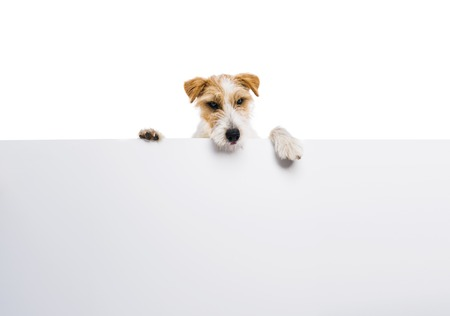 jack russel: An adorable young parson russell terrier dog above banner or sign, isolated on white background