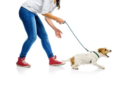 bark: Agressive parson russell terrier dog barking on lead on walk with his owner, isolated on white background