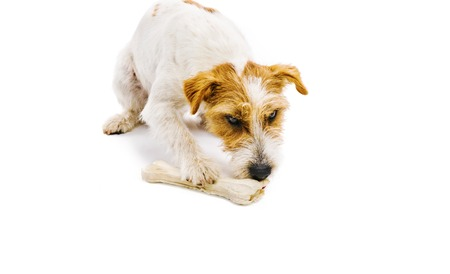 An adorable young parson russell terrier dog chowing bone isolated on white background photo