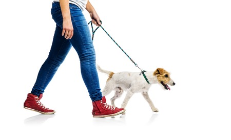 dog white background: Cute parson russell terrier dog on lead on walk with his owner, isolated on white background