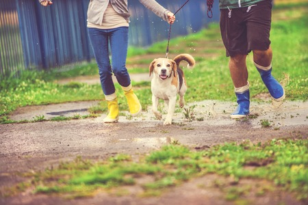wellies: Young couple walk dog in rain. Details of wellies splashing in puddles. Stock Photo