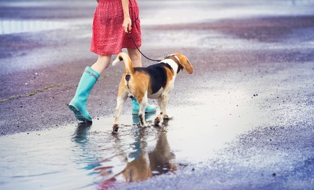 wet dress: Unrecognizable young woman in dress and blue wellies walk her beagle dog in street