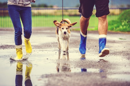 couple in rain: Young couple walk dog in rain. Details of wellies splashing in puddles. Stock Photo