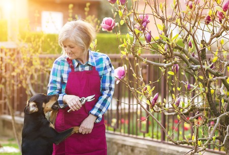 cut flowers: Woman pruning magnolia tree brunches in her garden Stock Photo