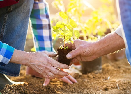 woman gardening: Senior couple planting seedlings in their garden