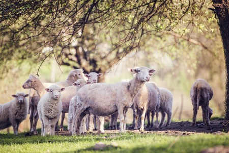 flock: Flock of sheep outside in summer nature Stock Photo