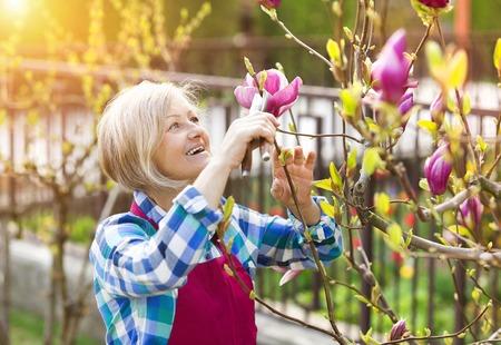 Woman pruning magnolia tree branches in her garden Foto de archivo