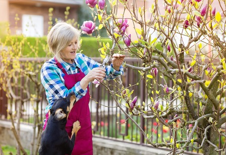 secateur: Woman pruning magnolia tree branches in her garden Stock Photo