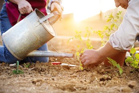 Matrimonios de edad plantar plántulas de tomate en su jardín Foto de archivo - 41498332