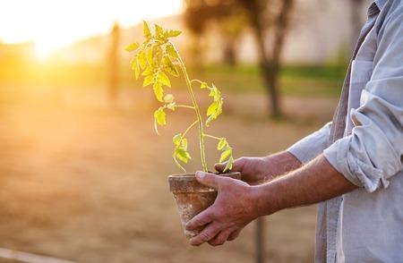Senior man planting seedlings of tomato in their garden photo