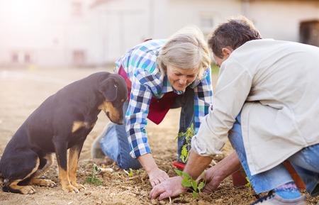 Senior couple planting seedlings of tomato in their garden photo