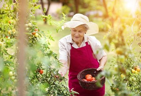 persona mayor: Mujer mayor en su cosecha los tomates de jardín
