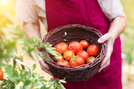 pick up: Unrecognizable senior woman in her garden harvesting tomatoes